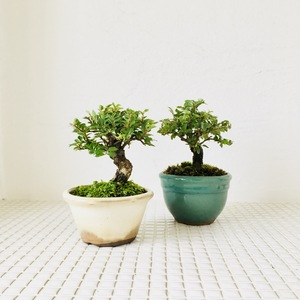インテリア盆栽-1.jpeg